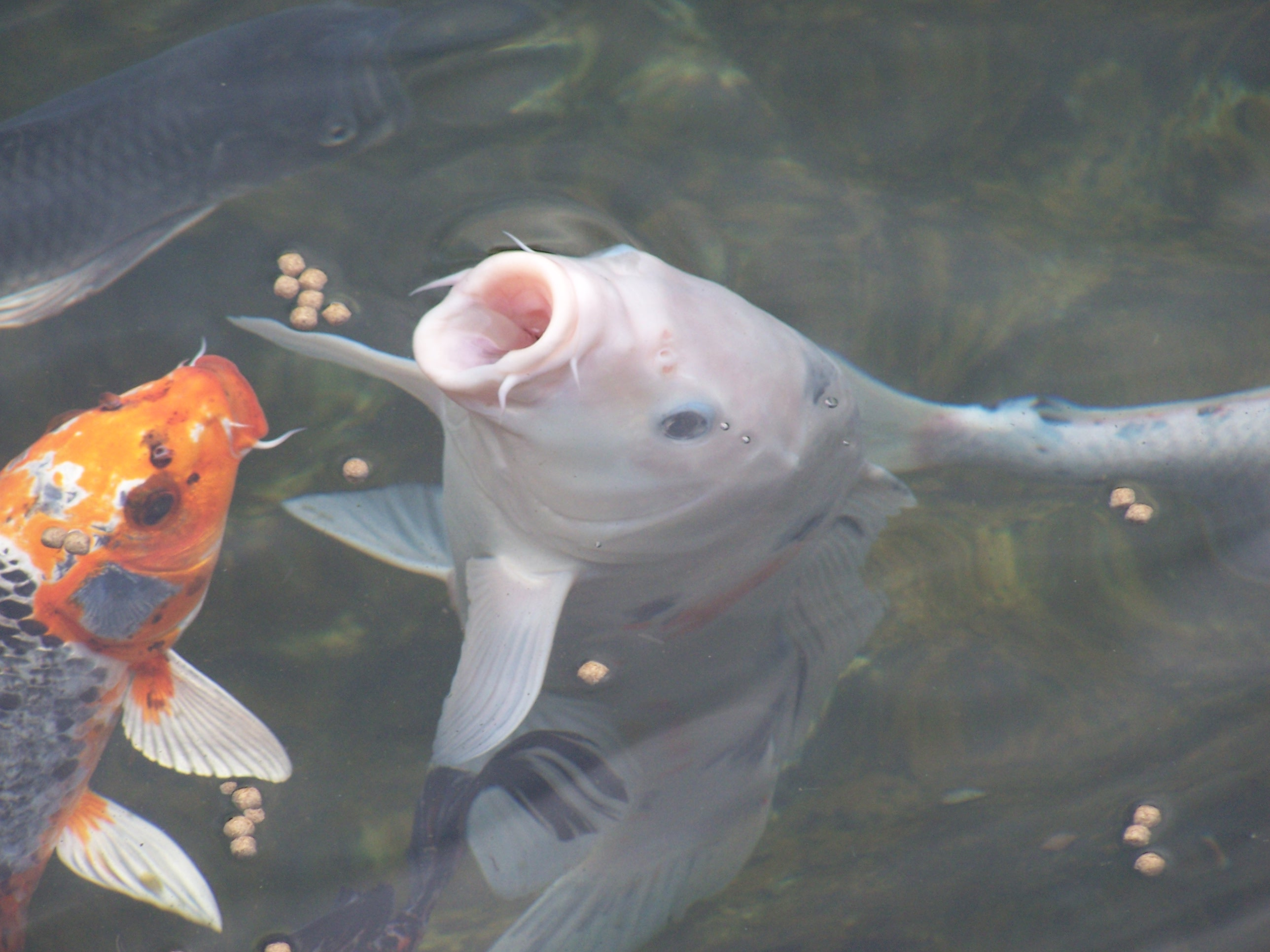 How To Choose Pond Fish